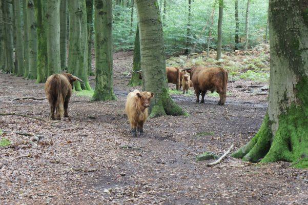Veluwezoom Nog meer koeien